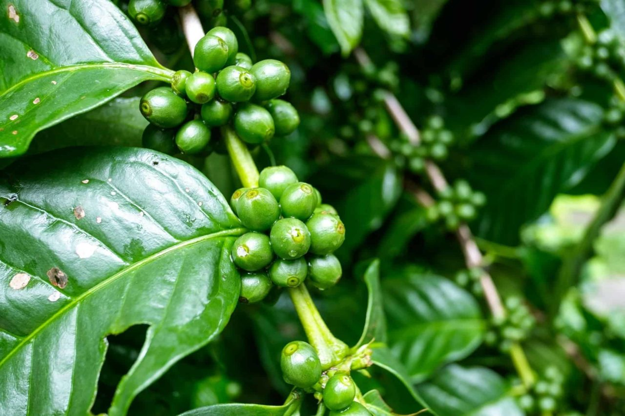 Coffee plants with unripe berries waiting for harvest